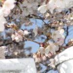 3月25日、白山西台公園桜9分咲き
